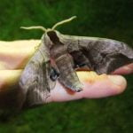 Nachtvlinder Pauwoogpijlstaart